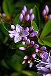 NZ native lilac coloured Hebe