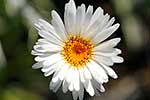 Mountain daisy close up
