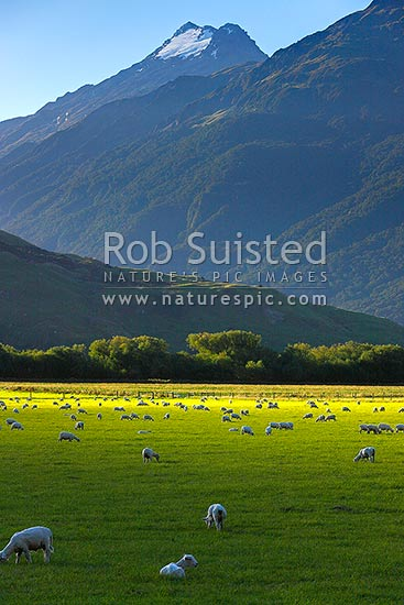 Makarora River flats with sheep flock grazing in late afternoon sun. Mt Aspiring National Park behind, Makarora, Queenstown Lakes District, Otago Region, New Zealand (NZ) stock photo.