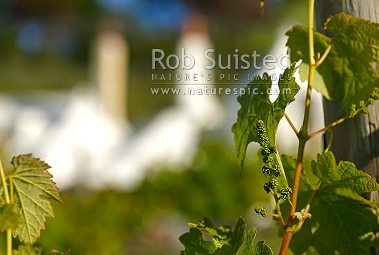 Grape buds on vines of Te Mata Estate, with landmark Coleraine House or 'Buck House' behind, Havelock North, Hastings District, Hawke's Bay Region, New Zealand (NZ) stock photo.
