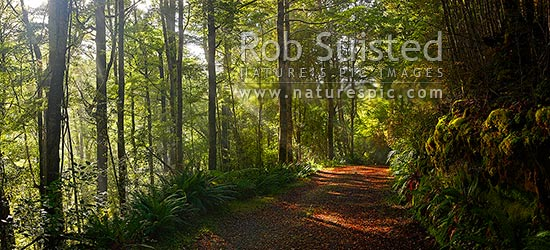 Moody forest road on a misty winter morning with sun rays streaming into beech forest (Nothofagus sp.). Panorama, Buller River, Buller District, West Coast Region, New Zealand (NZ) stock photo.