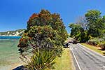 Pohutukawa tree beside the road