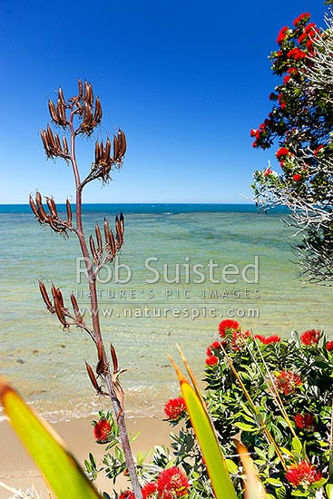 Pohutukawa tree (Metrosideros excelsa) flowers and flax (Phormuim tenax) seed heads overhanging a beach, Gisborne District, Gisborne Region, New Zealand (NZ) stock photo.