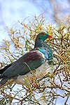 Wood Pigeon feeding in a Kowhai tree