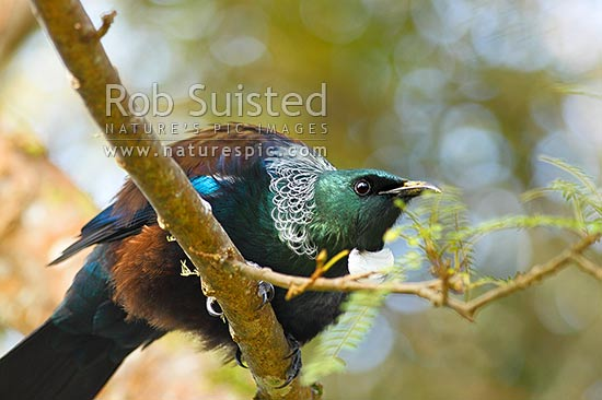 Tui (Prosthemadera novaeseelandiae). A male bird in full breeding plummage. Also known as a Parson Bird, New Zealand (NZ) stock photo.