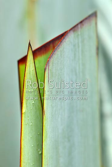 NZ native flax new growth leaf growing through a cut or harvested leaf blade. Concept representing the next generation (Phormium tenax), New Zealand (NZ) stock photo.
