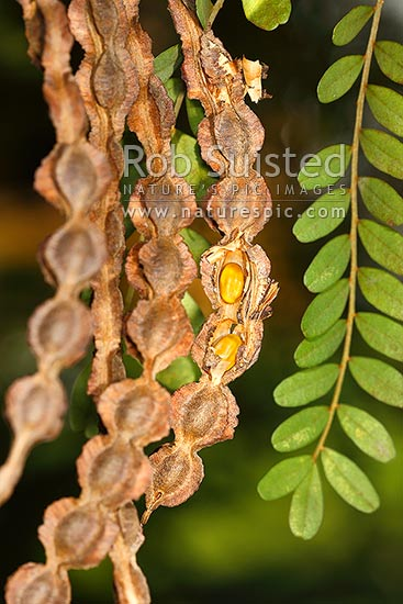 NZ native Kowhai tree seed pods showing seeds (Sophora tetraptera), New Zealand (NZ) stock photo.