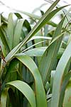 Flax plant leaves