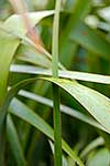 NZ Flax leaves