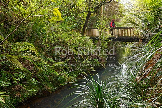 Tramper at Glen Esk stream and bridge on the Hillary Trail near Piha Beach. Track enroute to Kitekite (Kitakita) waterfall. Waitakere Ranges Regional Park, Waitakere Ranges, Auckland, Waitakere City District, Auckland Region, New Zealand (NZ) stock photo.