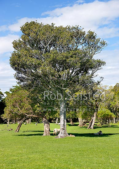 Titoki trees, native to New Zealand (New Zealand Oak or NZ Ash - Alectryon excelsus, Sapindaceae), New Zealand (NZ) stock photo.