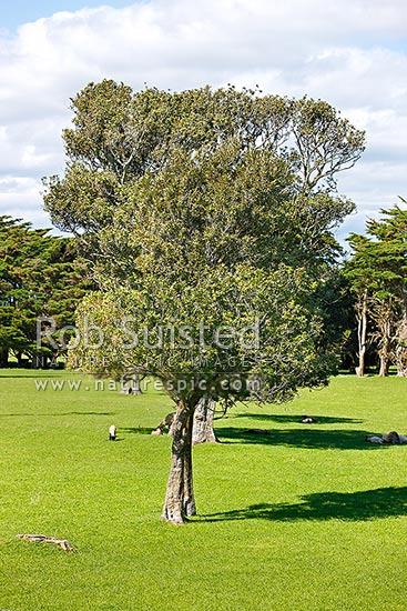 Titoki Trees Native To New Zealand New Zealand Oak Or Nz