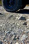 Banded dotterel nest 4x4 threat