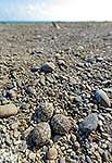 Banded dotterel nest on beach