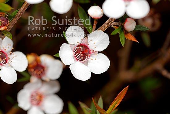 Manuka Tree Flowers And Foliage Leptospermum Scoparium