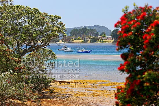Boats moored in Tairua Harbour with Pohutukawa tree in flower (Metrosideros excelsa), Whangamata, Coromandel Peninsula, Thames-Coromandel District, Waikato Region, New Zealand (NZ) stock photo.