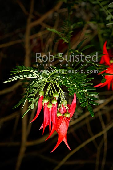 Kakabeak leaves, foliage and flowers (Clianthus puniceus). Known in Maori as Kowhai Ngutukaka, and endangered endemic plant, New Zealand (NZ) stock photo.