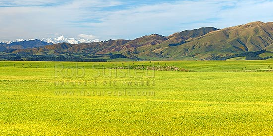 Farmland and lush spring grassland near Cheviot, with Inland Kaikoura Ranges and Mount Tapuae-o-uenuku behind. Panorama, Cheviot, North Canterbury, Hurunui District, Canterbury Region, New Zealand (NZ) stock photo.