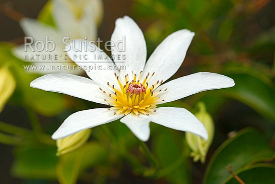 New Zealand Bush Clematis Flower Clematis Paniculata