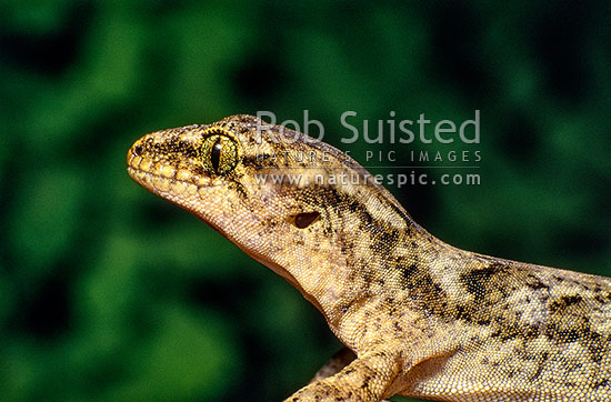 Raukawa or Common Gecko (Woodworthia maculata, Syn. Hoplodactylus maculatus) sitting on rock, Wellington, Wellington City District, Wellington Region, New Zealand (NZ) stock photo.