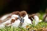 Paradise Shelduck Chicks