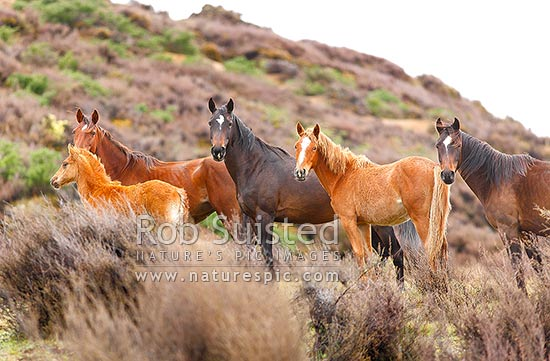 Kaimanawa Wild horses. A small herd of horses including the black stallion and young, Waiouru, Ruapehu District, Manawatu-Wanganui Region, New Zealand (NZ) stock photo.