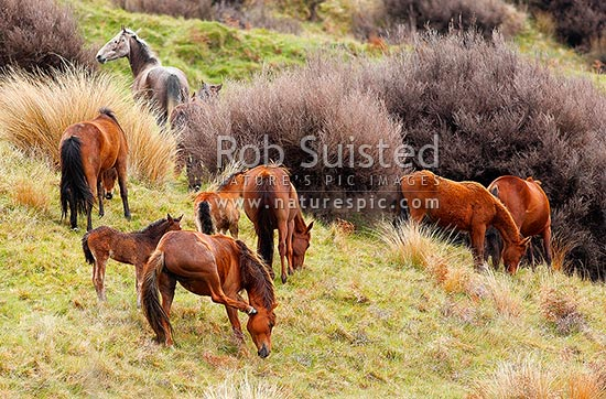 Kaimanawa Wild horses. A small herd of horse mares and new born foals, Waiouru, Ruapehu District, Manawatu-Wanganui Region, New Zealand (NZ) stock photo.