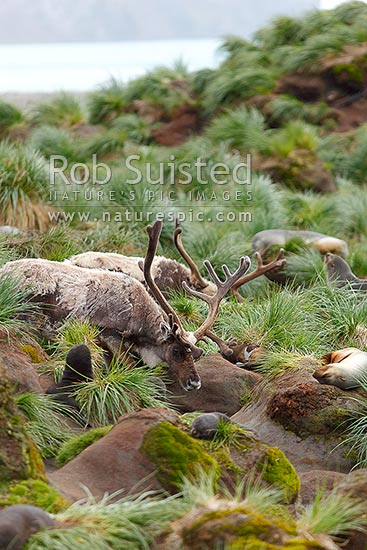 Reindeer (Rangifer tarandus) with velvet growing antlers amongst fur seals (Reindeer were introduced onto South Georgia Island in 1911 by the Norwegian whalers), Fortuna Bay, South Georgia stock photo.