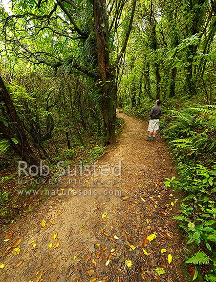 Visitor on walking track through broadleaf mahoe and kohekohe forest. Mount Kaukau walkway trail. Northern Walkway, Khandallah, Wellington City District, Wellington Region, New Zealand (NZ) stock photo.