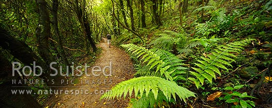 Visitor on walking track through broadleaf, mahoe, kohekohe and fern forest. Mount Kaukau walkway trail. Northern Walkway. Panorama, Khandallah, Wellington City District, Wellington Region, New Zealand (NZ) stock photo.