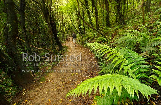 Visitor on walking track through broadleaf mahoe and kohekohe and fern forest. Mount Kaukau walkway trail. Northern Walkway, Khandallah, Wellington City District, Wellington Region, New Zealand (NZ) stock photo.
