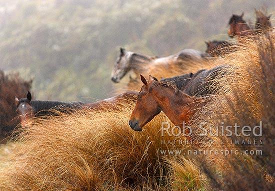 Kaimanawa Wild Horses A Herd Of Horses Amongst Red