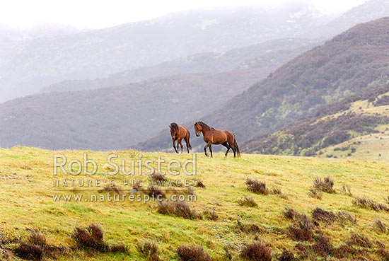 Kaimanawa Wild horses. Two young stallions together in open country, Waiouru, Ruapehu District, Manawatu-Wanganui Region, New Zealand (NZ) stock photo.