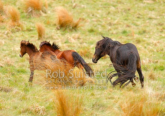 Kaimanawa Wild horses. A old stallion chasing a mare and yong filly, Waiouru, Ruapehu District, Manawatu-Wanganui Region, New Zealand (NZ) stock photo.
