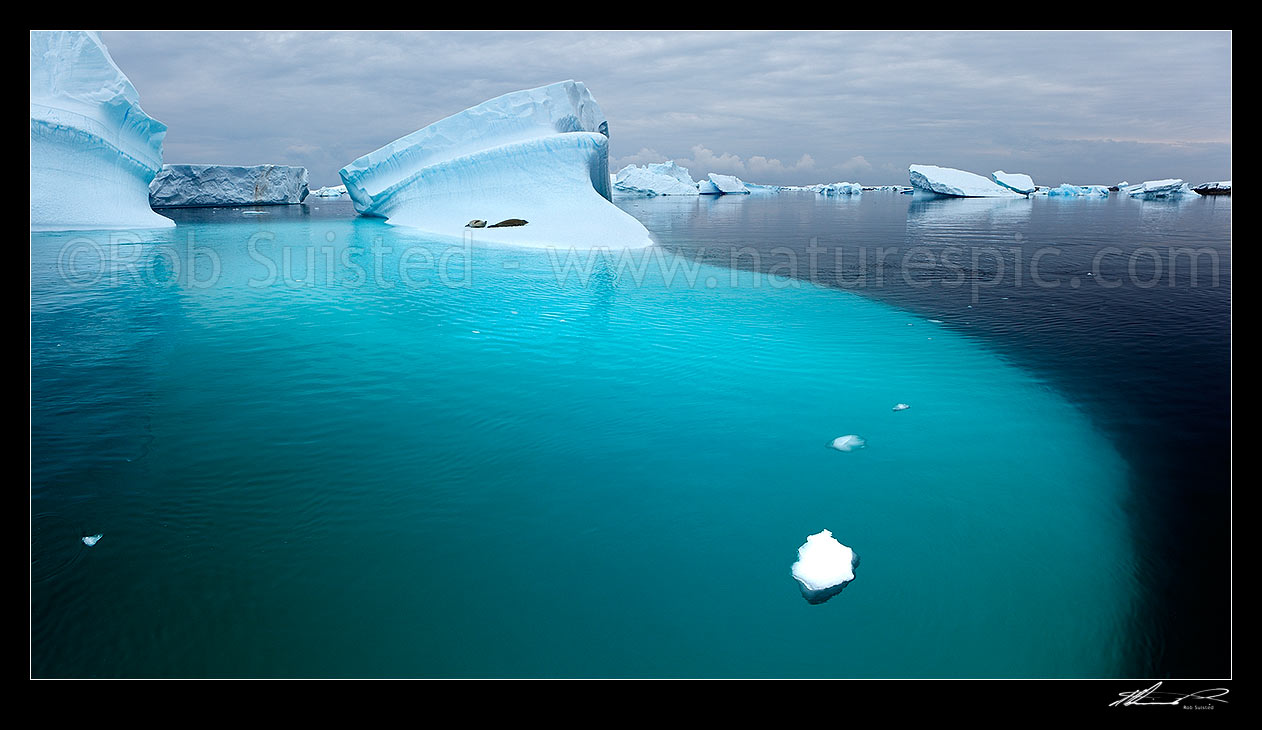 Image of Crabeater Seals (Lobodon carcinophagus) resting on grounded icebergs. Panorama, Antarctic Peninsula, Antarctica Region, Antarctica stock photo image