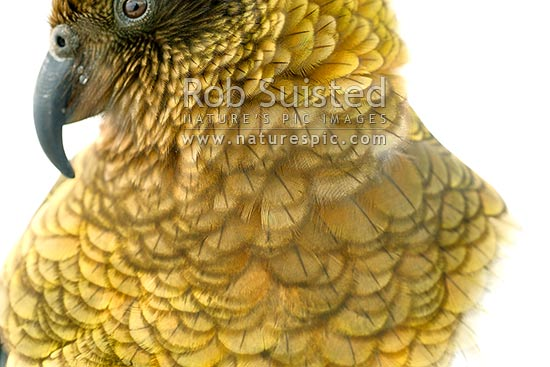 Kea bird feathers on breat closeup (Nestor notabilis). Alpine parrot, Arthur's Pass National Park, New Zealand (NZ) stock photo.