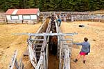 Testing cattle heifers for TB