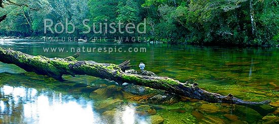 Glaisnock River in the Glaisnock Wilderness Area. Serene river travelling amongst thick rainforest. Blue duck sitting on old log. Panorama, Fiordland National Park, Southland District, Southland Region, New Zealand (NZ) stock photo.