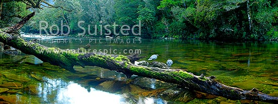 Blue ducks pair on log in the Glaisnock River, Glaisnock Wilderness Area. Serene river travelling amongst thick rainforest. Panorama, Fiordland National Park, Southland District, Southland Region, New Zealand (NZ) stock photo.