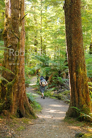 Mother and child in backpack walking the Brod bay track through rainforest and bush on Lake Te Anau, Fiordland National Park, Southland District, Southland Region, New Zealand (NZ) stock photo.