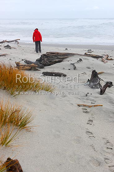 Tourist visitor on a wild west coast beach at Ship Creek, with native pingao (Desmoschoenus spiralis) grass in foreground, Haast, Westland District, West Coast Region, New Zealand (NZ) stock photo.