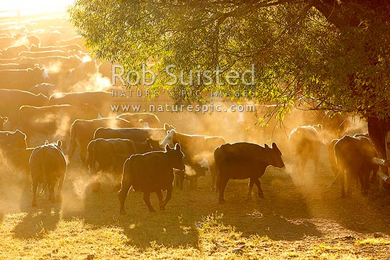 Cattle herd steaming on a cool dry dusty morning during calf marking muster at Bush Gully, Molesworth Station, Marlborough District, Marlborough Region, New Zealand (NZ) stock photo.