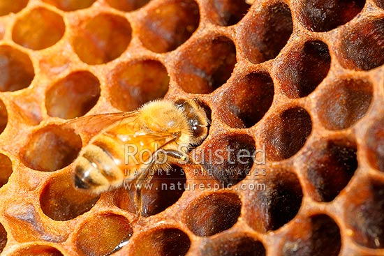 Honey Bee working on honeycombs, a beeswax structure built by honey bees to store honey or brood larvae (Apis mellifera), New Zealand (NZ) stock photo.