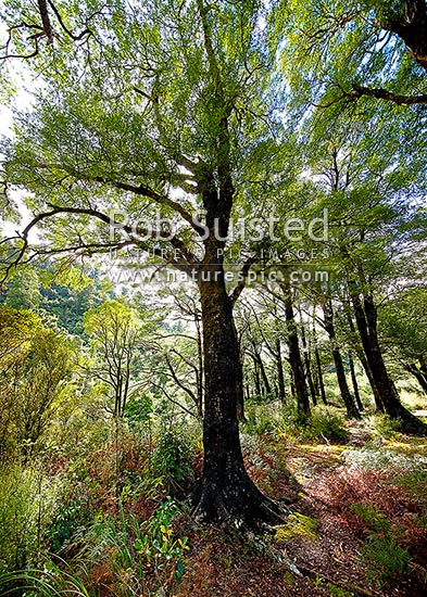 Beech forest interior (Nothofagus species) looking up through the sun dappled canopy. Mostly native Fuscospora fusca, Syn Nothofagus fusca (New Zealand Red Beech), New Zealand (NZ) stock photo.