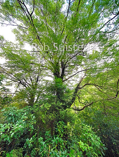Beech forest interior (Nothofagus species) looking up through the canopy. Fuscospora fusca, Syn Nothofagus fusca (New Zealand Red Beech), New Zealand (NZ) stock photo.