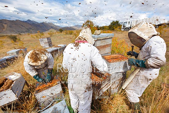 Beekeepers (apiarists) collecting honey from beehives (apiary) in Awatere Valley, Molesworth Station, Marlborough District, Marlborough Region, New Zealand (NZ) stock photo.