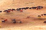 Cattle herd in Molesworth