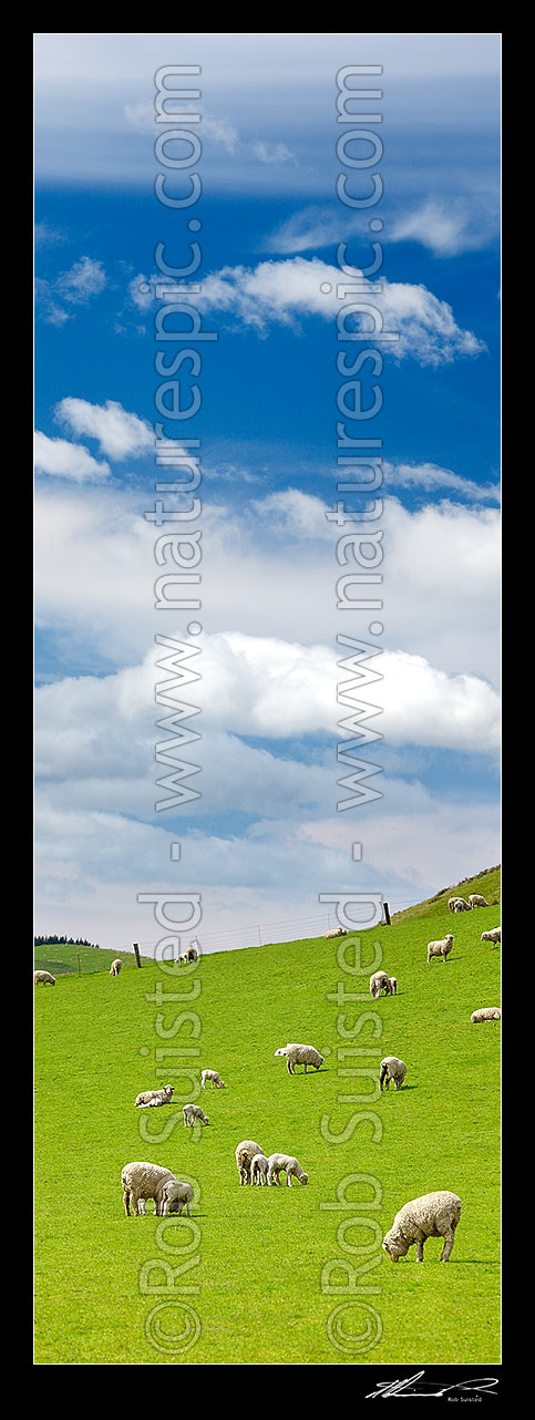 Image of Sheep and spring lambs grazing on lush green grass pasture. Blue sky. Vertical panorama, Waipara, Canterbury, Hurunui District, Canterbury Region, New Zealand (NZ) stock photo image