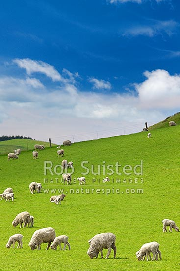 Sheep and spring lambs grazing on lush green grass pasture. Blue sky, Waipara, Canterbury, Hurunui District, Canterbury Region, New Zealand (NZ) stock photo.
