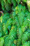 NZ native Palm leaf fern frods